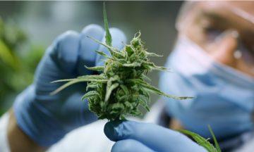 Imagem De Um Um Cientista Equipado Com Máscara, óculos E Luvas, Segurando A Planta Cannabis