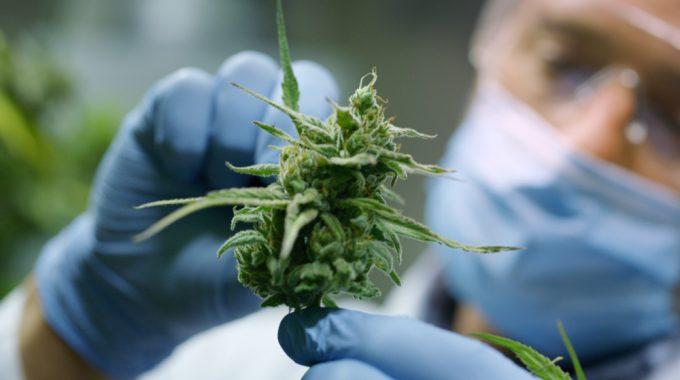 Comissão Aprova Proposta Para Legalizar No Brasil O Cultivo De Cannabis Sativa Para Fins Medicinais